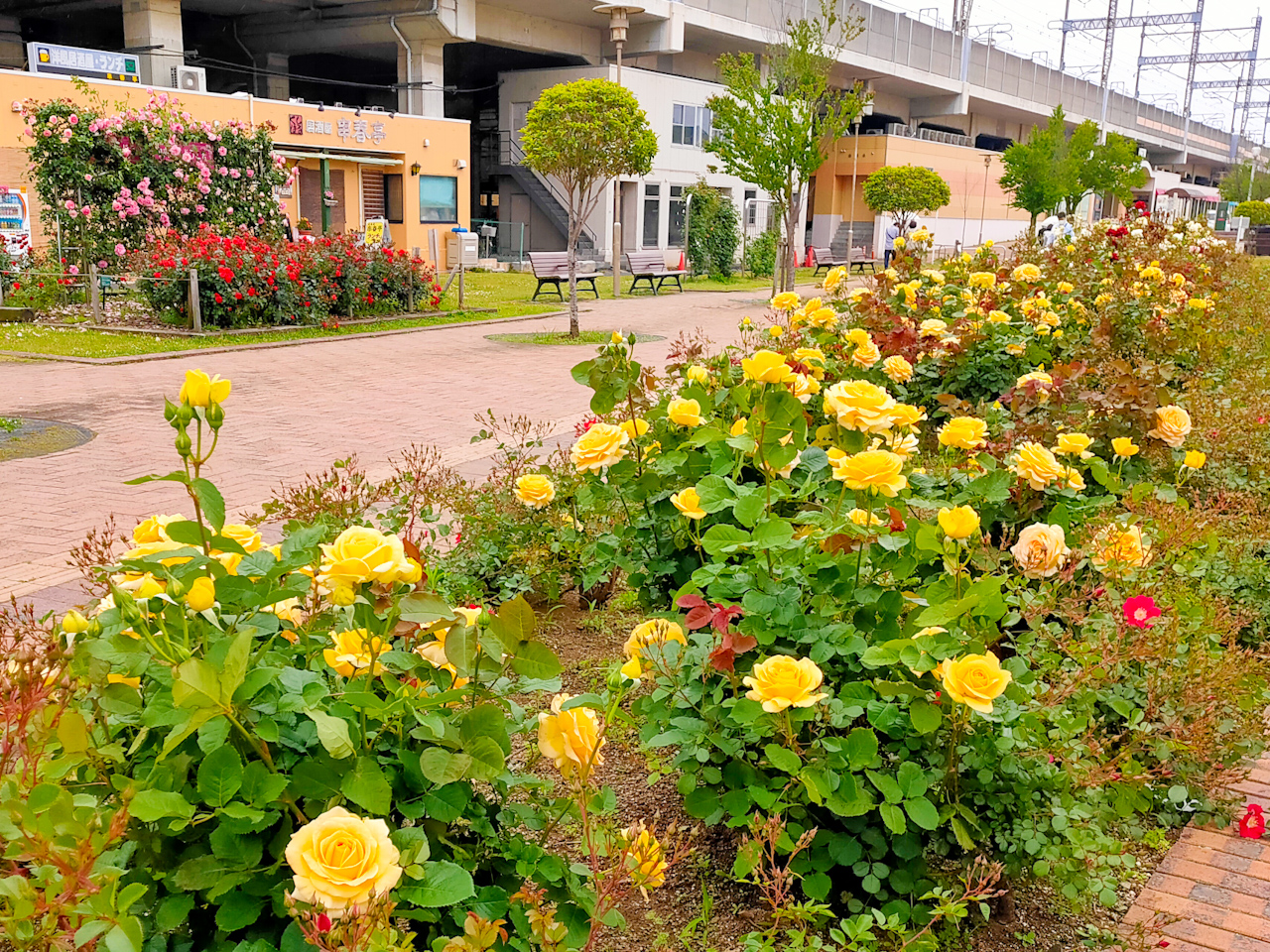 与野本町駅前公園には様々な色のバラが咲いています
