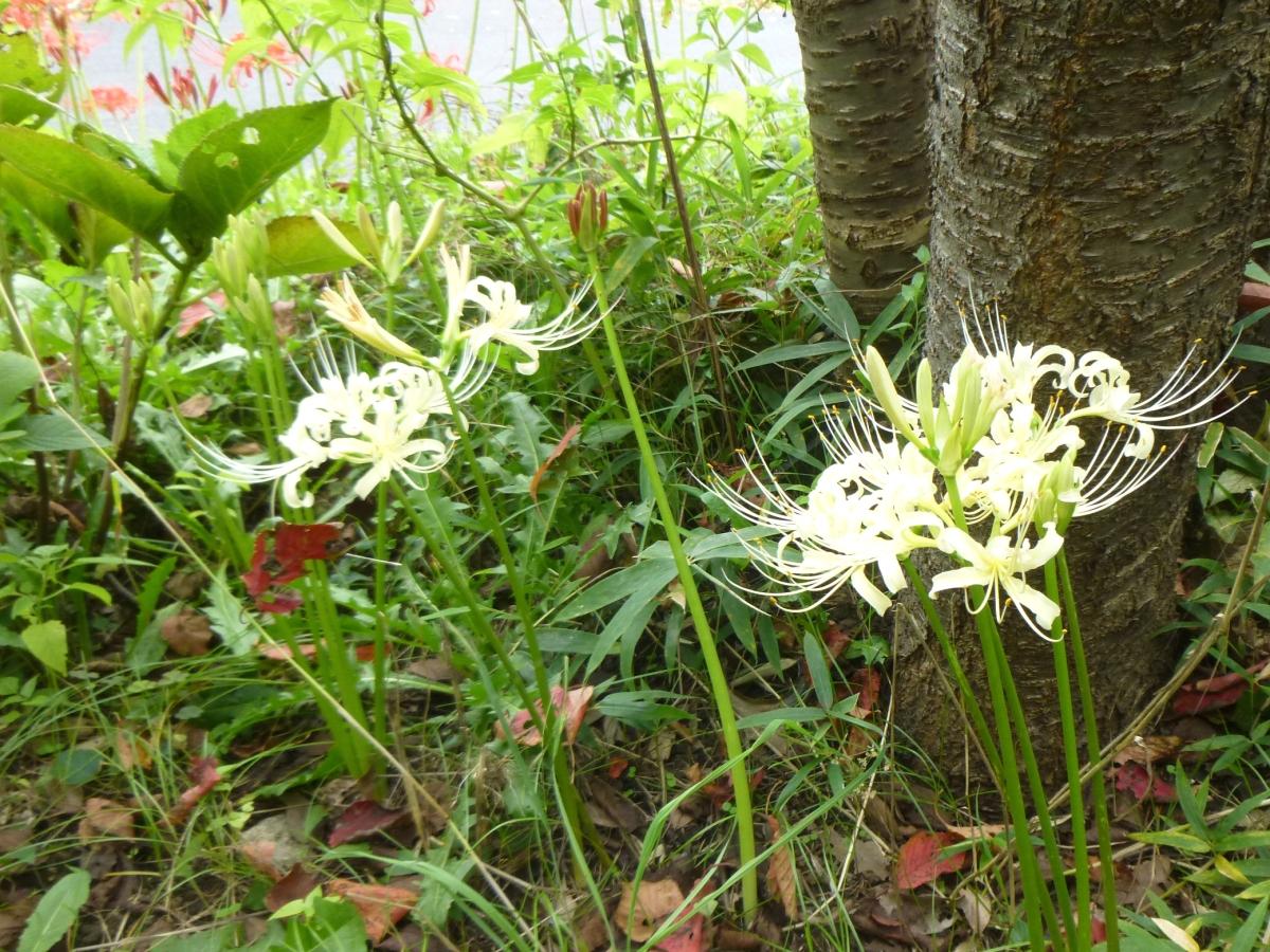 白い彼岸花も植えられています。