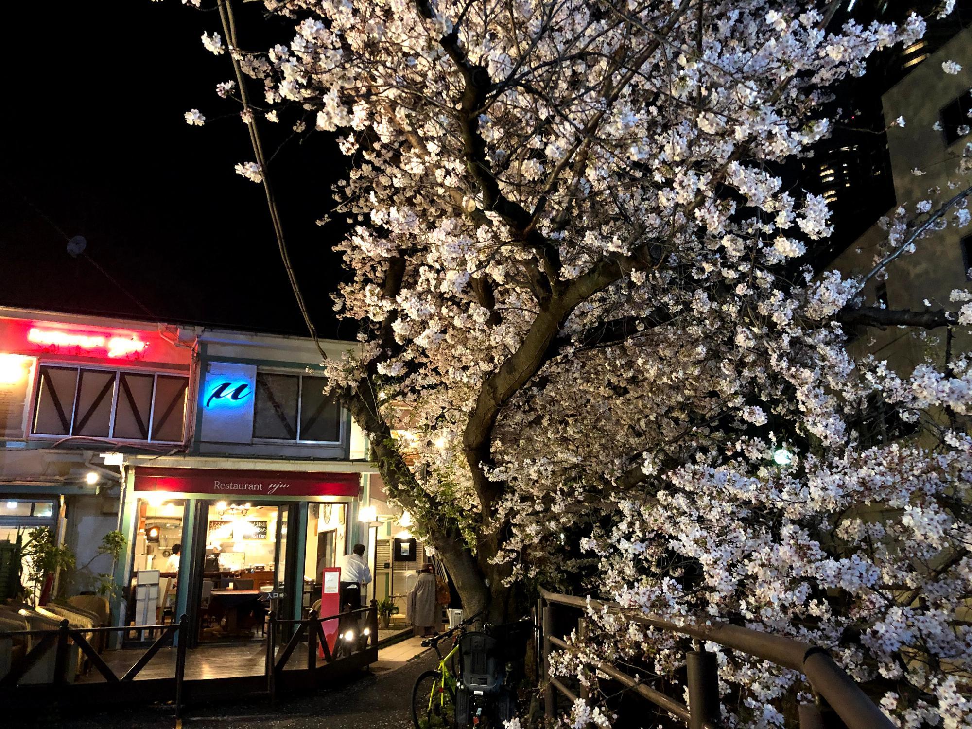 二ヶ領用水沿いの桜は見ものです