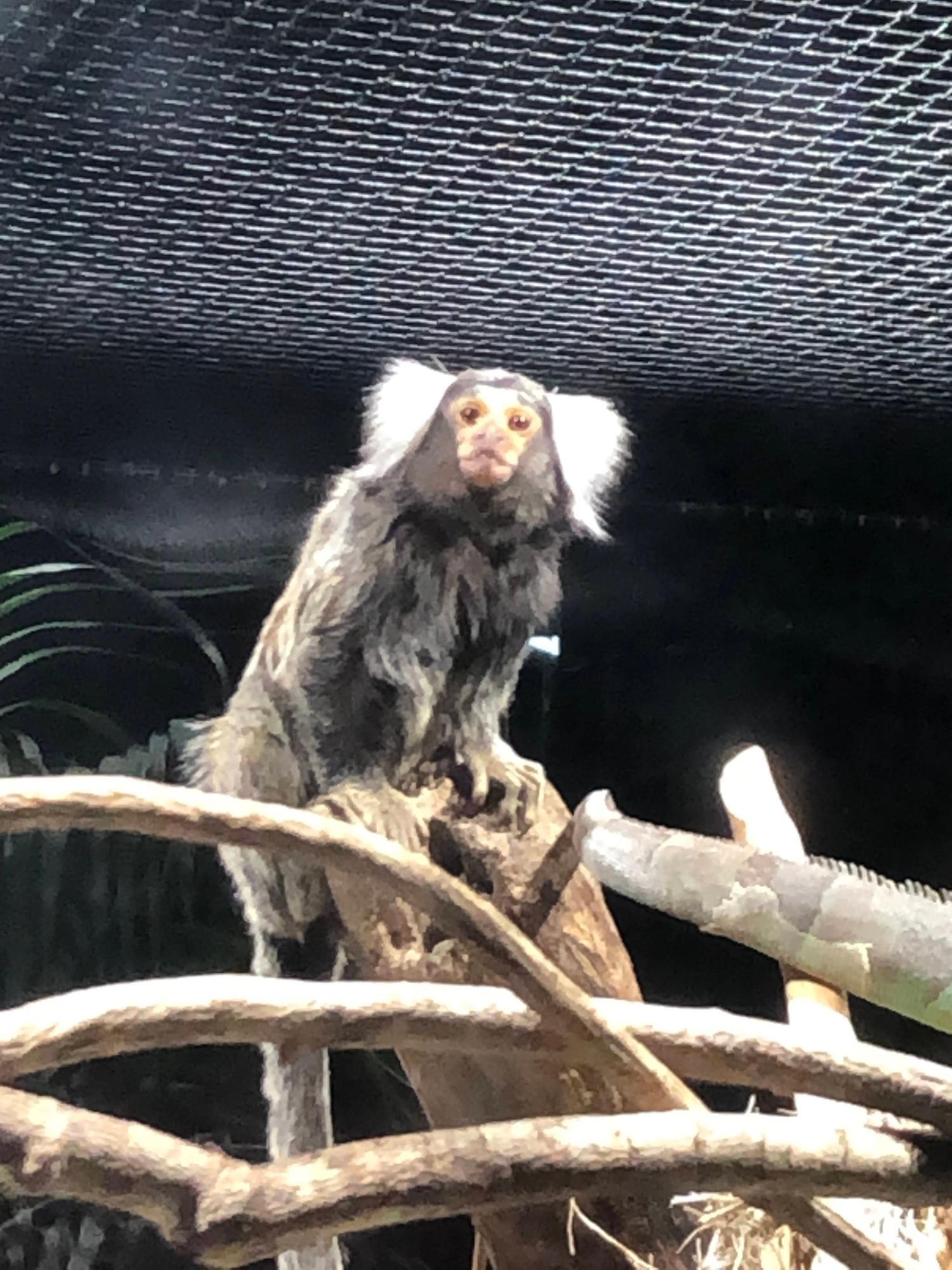 猿好きの私がこよなく愛するコモンマーモセット