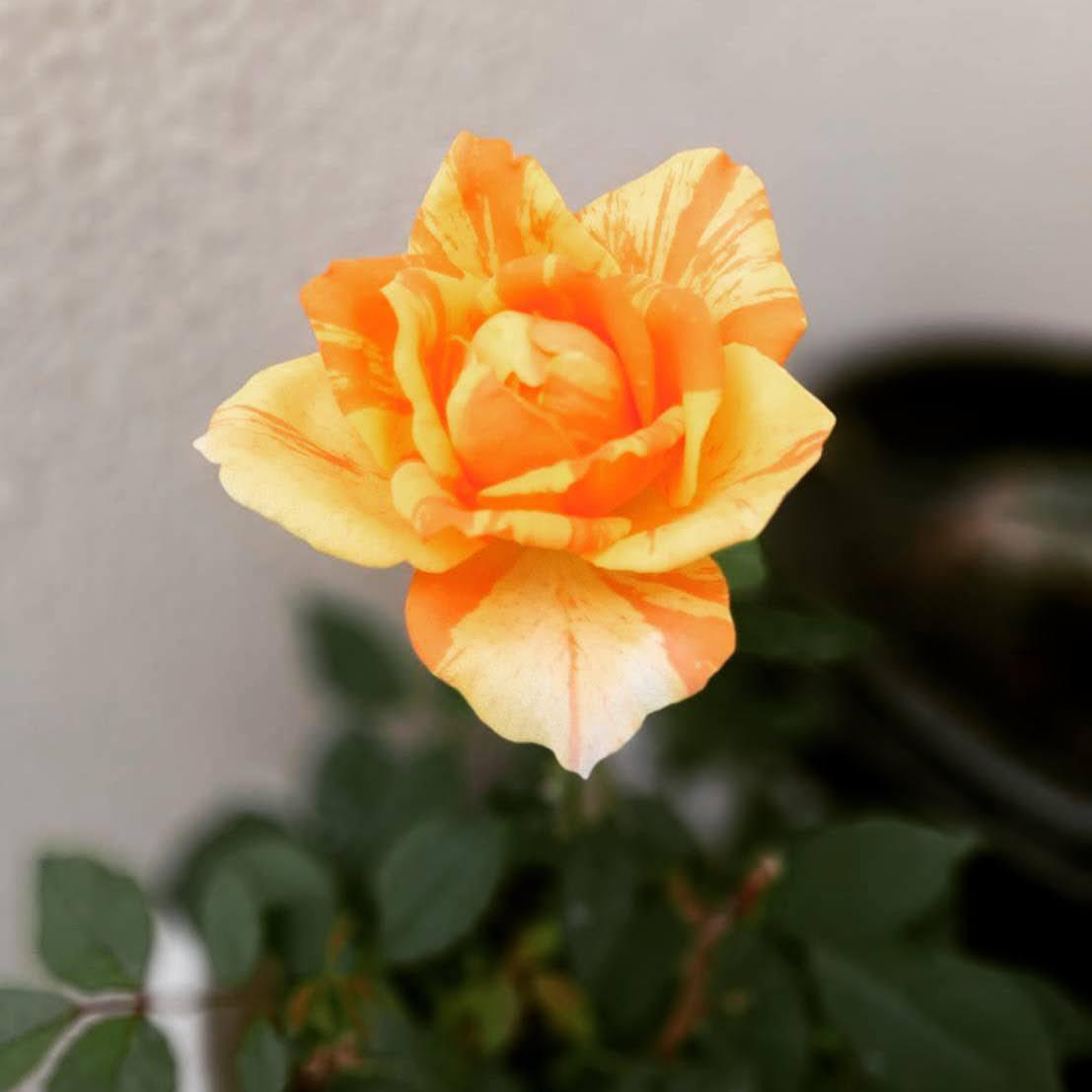 感謝の気持ちをこめて、きのうテラスに咲いたバラの花を載せておきます!