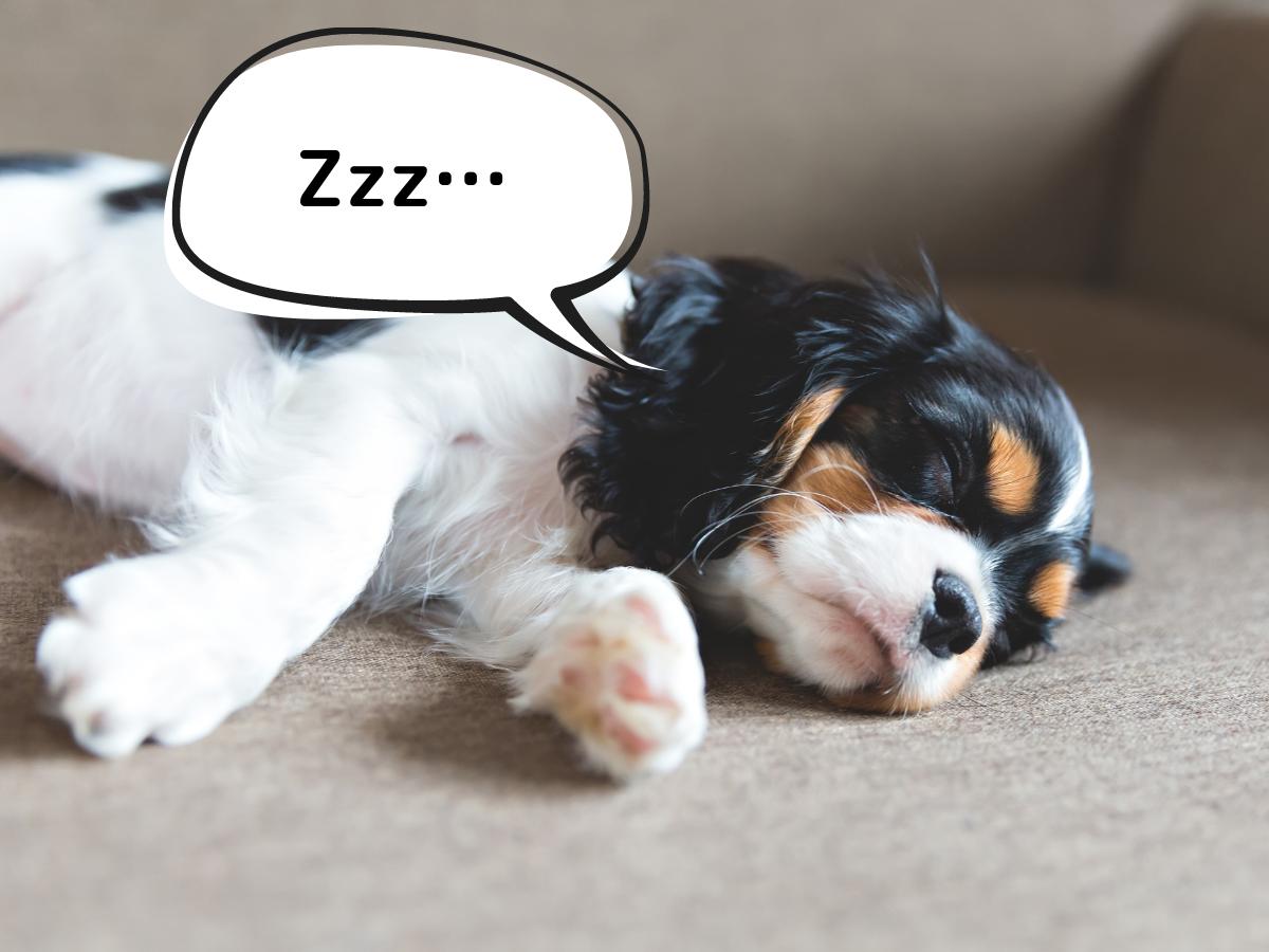 子犬は留守番中眠っている時間が長いです。