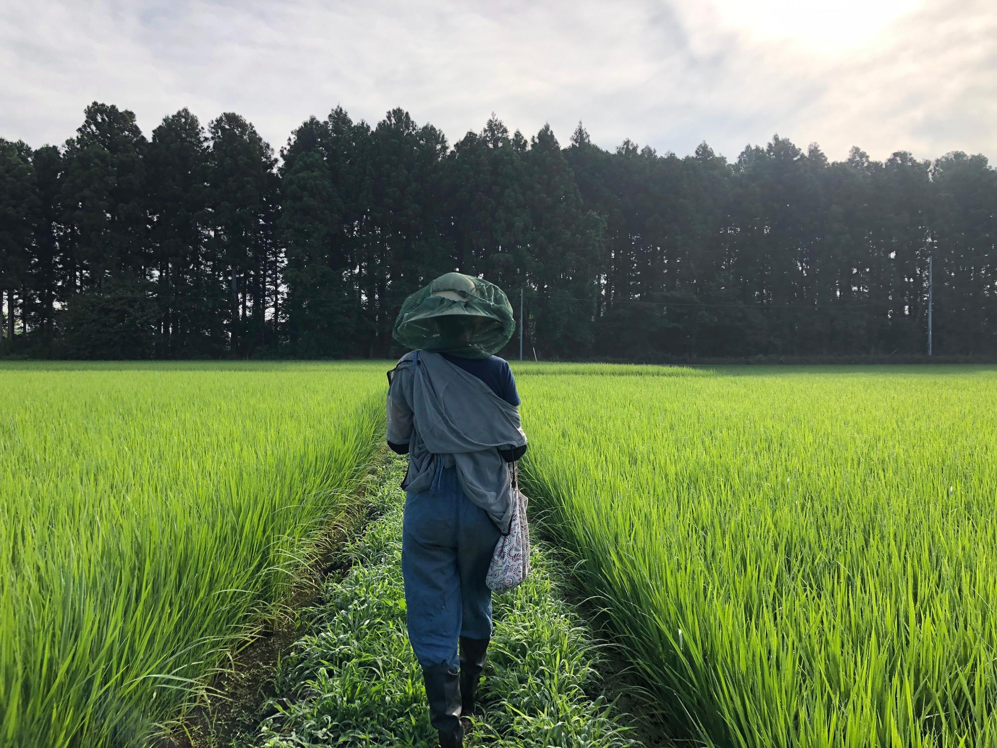 お米コーヒーの原料となっている栃木県の水口農園さんの無農薬の田んぼ