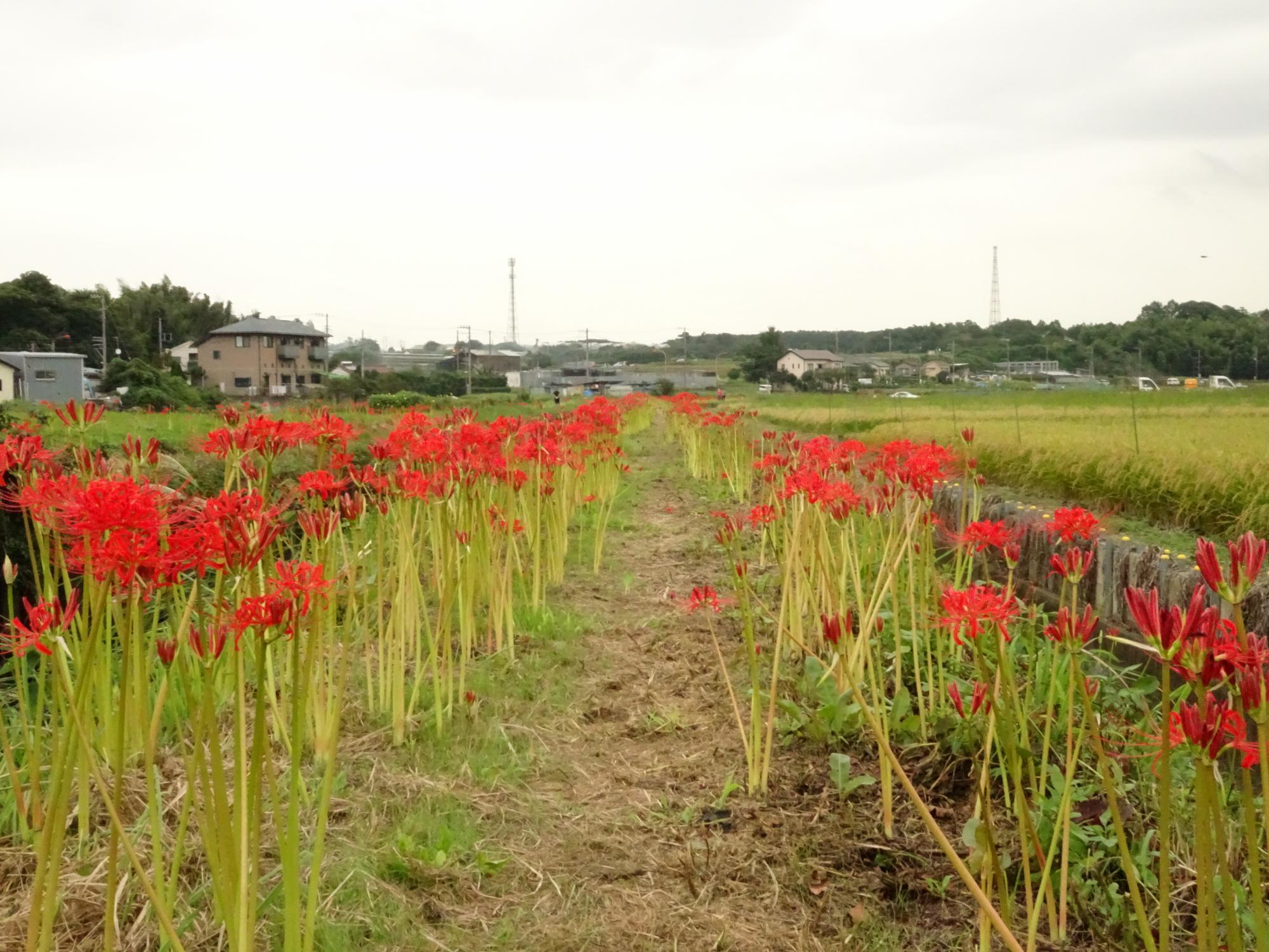 すでに開花した花が多く、赤い道が出来上がっています。