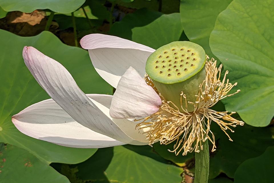 終わり掛けになると花びらが白っぽくなり、真ん中にシャワーヘッドみたいな実が見えるようになります。