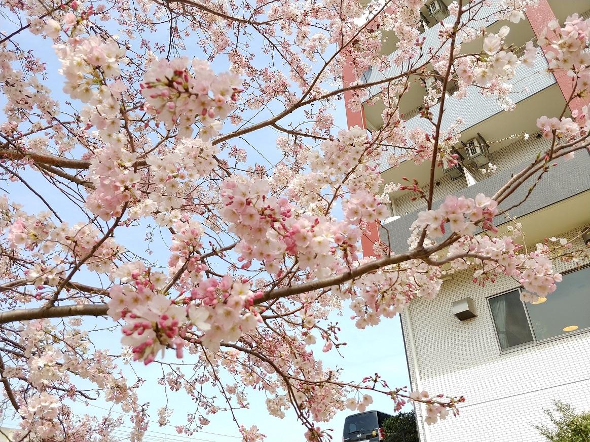 春には桜の花が咲きます。