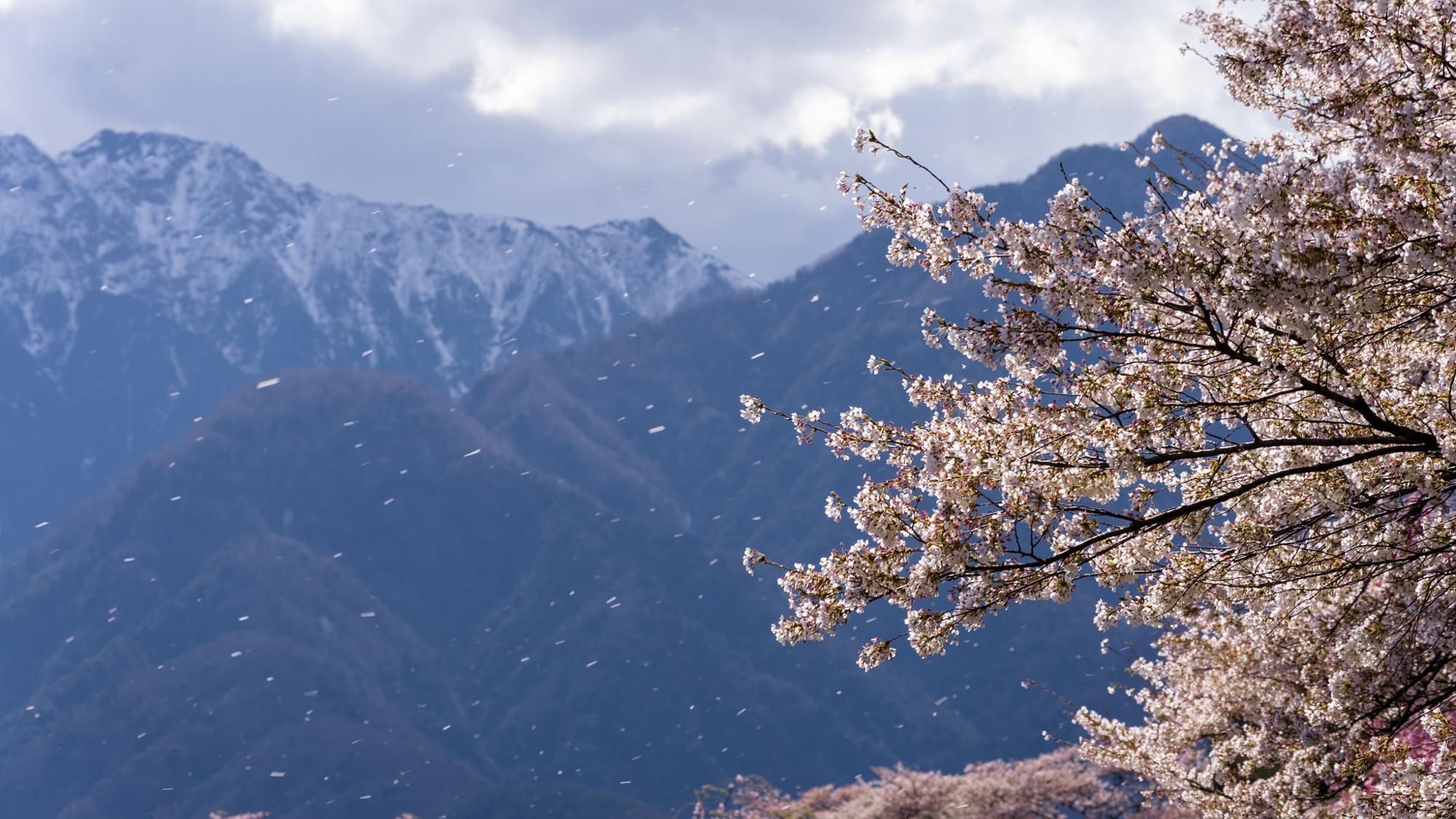キャンプ場予定地から少ししたところに桜並木があります