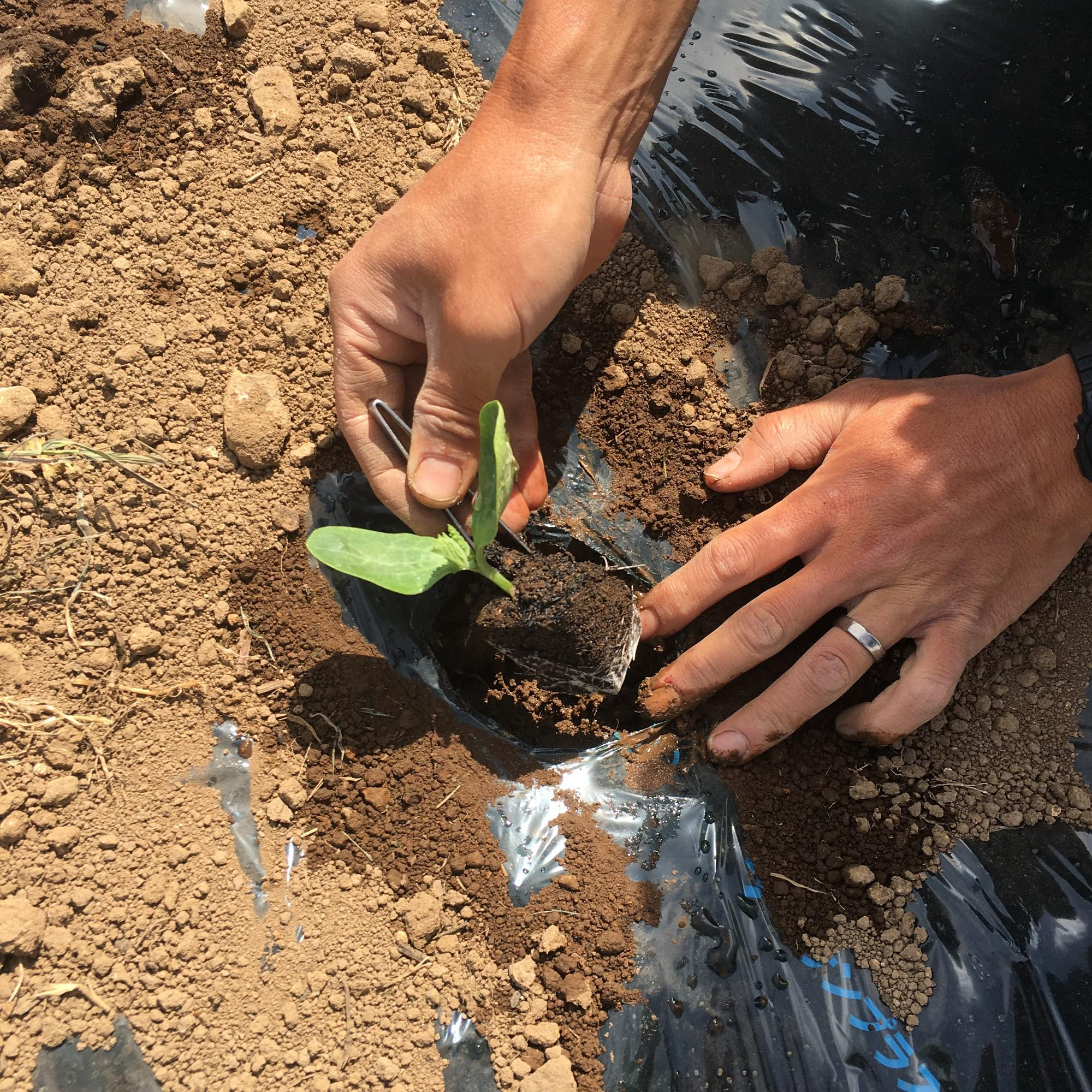 春に、種から育てて芽が出た苗を畑に定植します
