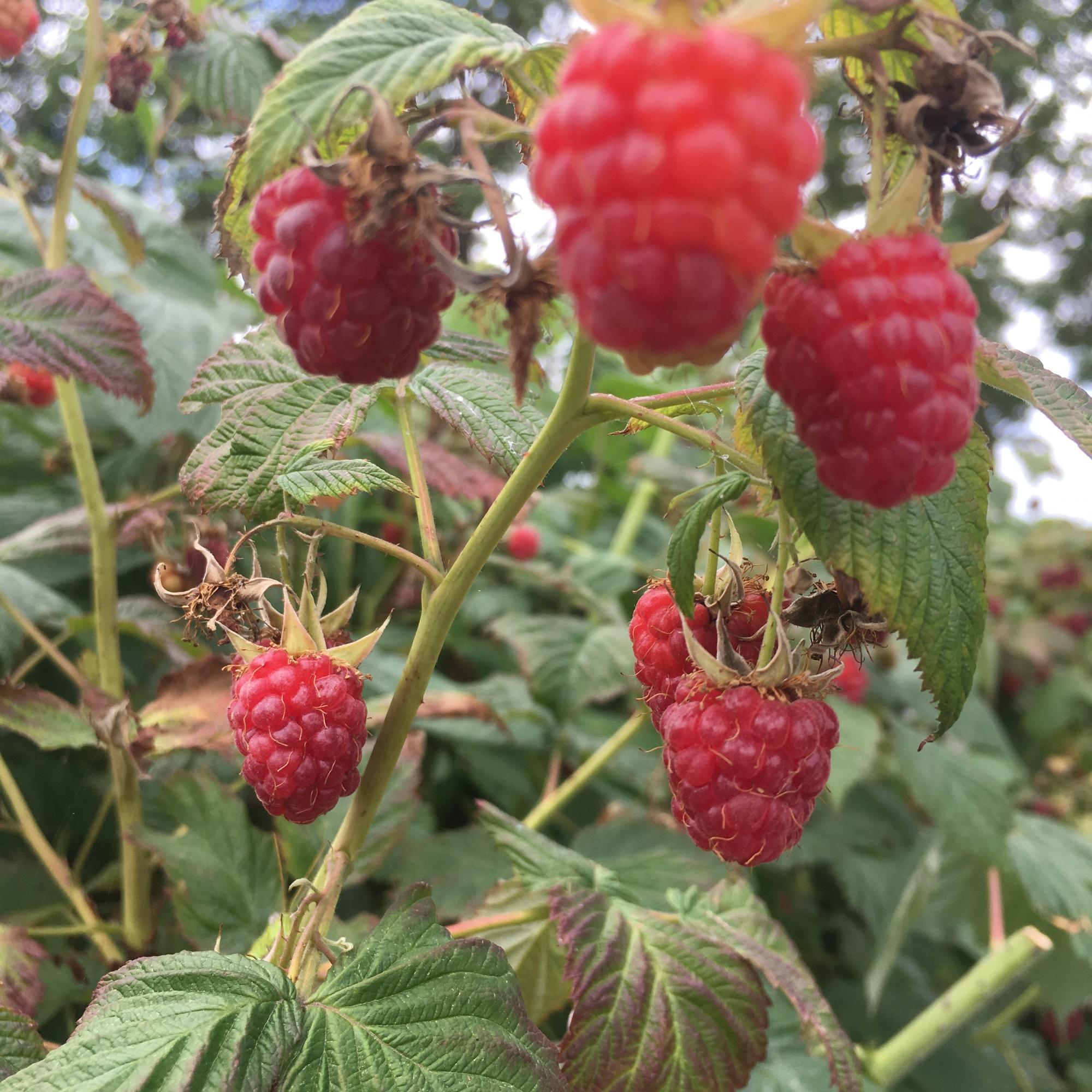 次々と赤く色づく畑のラズベリー。食べると、甘くて、ラズベリー独特の芳醇な香りが口の中に広がります