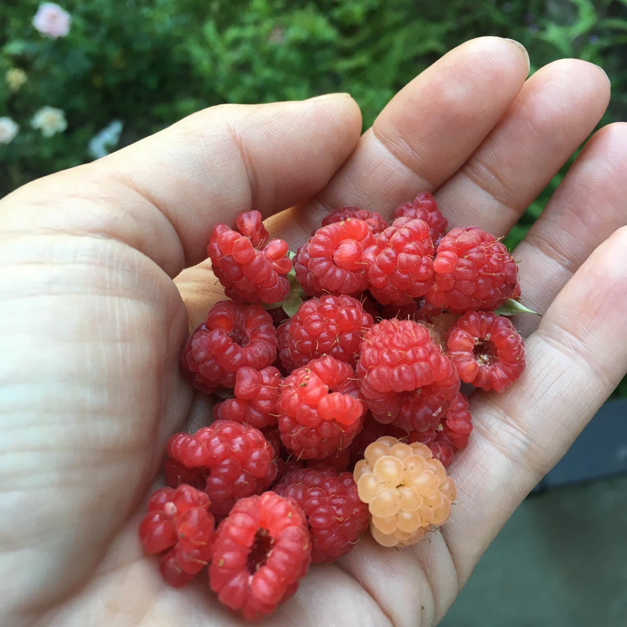 去年の我が家のラズベリー。この量が3回くらい収穫できました。淡いオレンジ色のは「サーモンベリー」という珍しい品種。お庭に1本だけあります