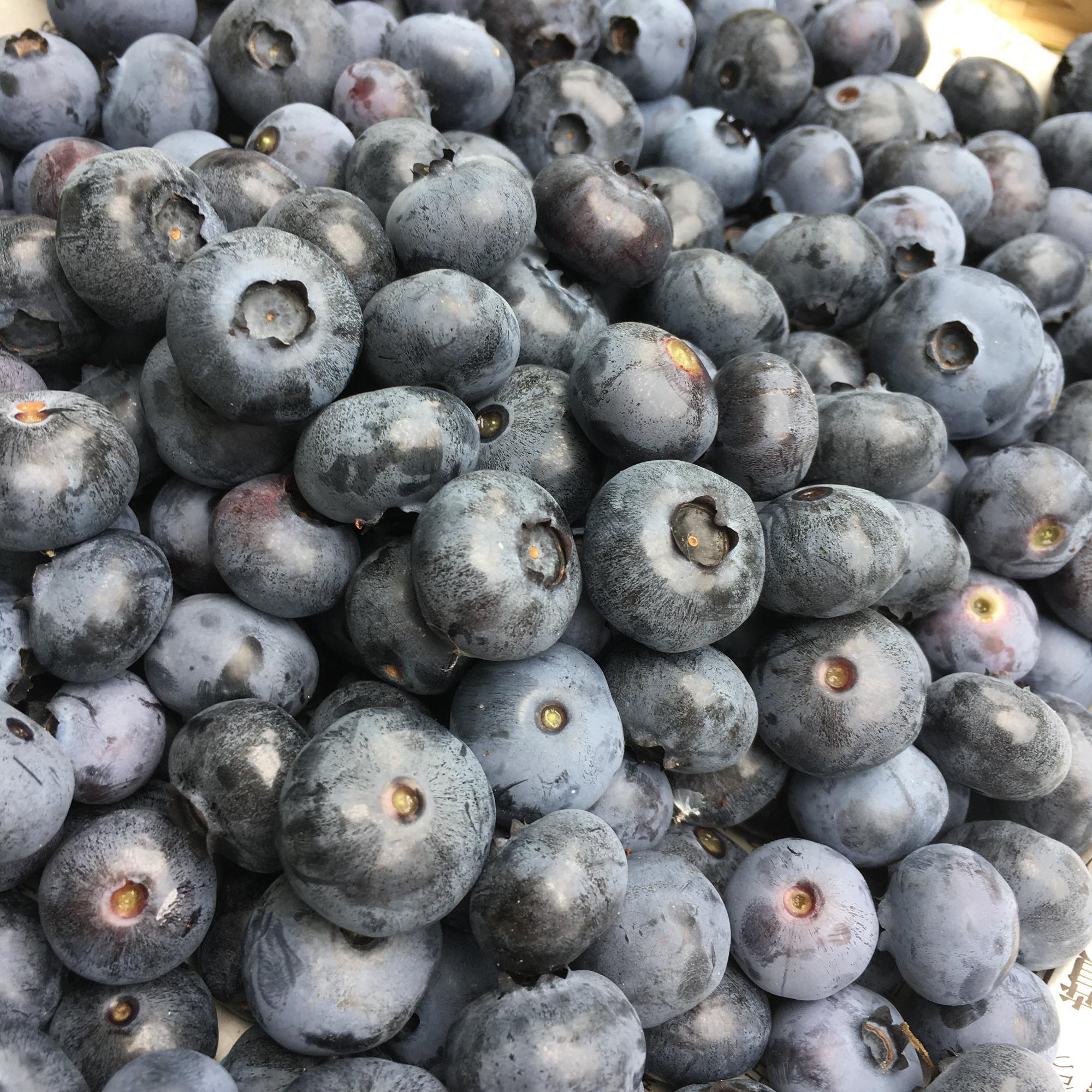 熟して美味しいのは、紫色が濃くて、ブルームという白い粉が吹いているもの。ブルームは実の水分が蒸発しないようにとブルーベリー自らが出すもの。新鮮な証拠なのです