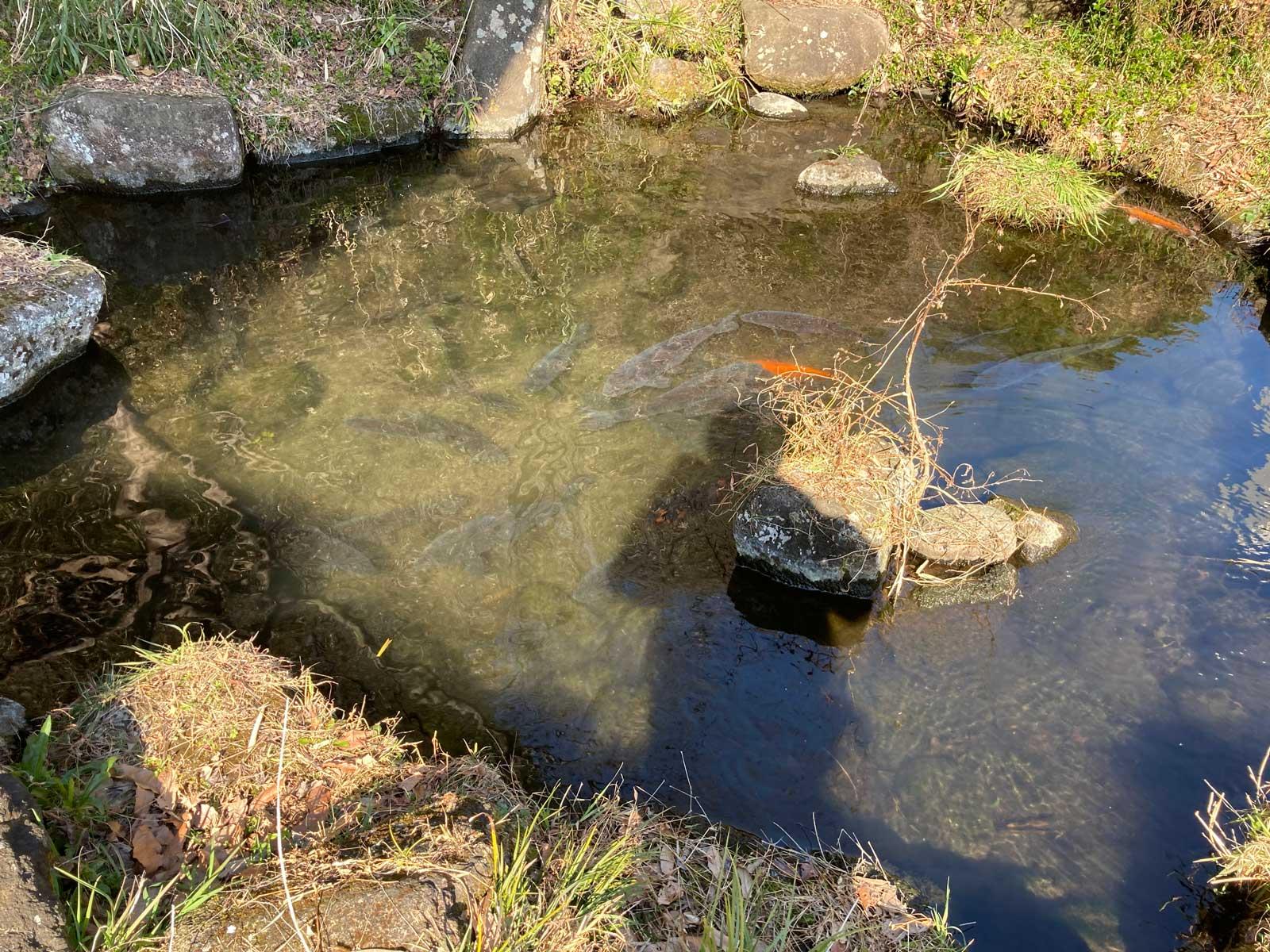 テラス席の横にある池には鯉がいます