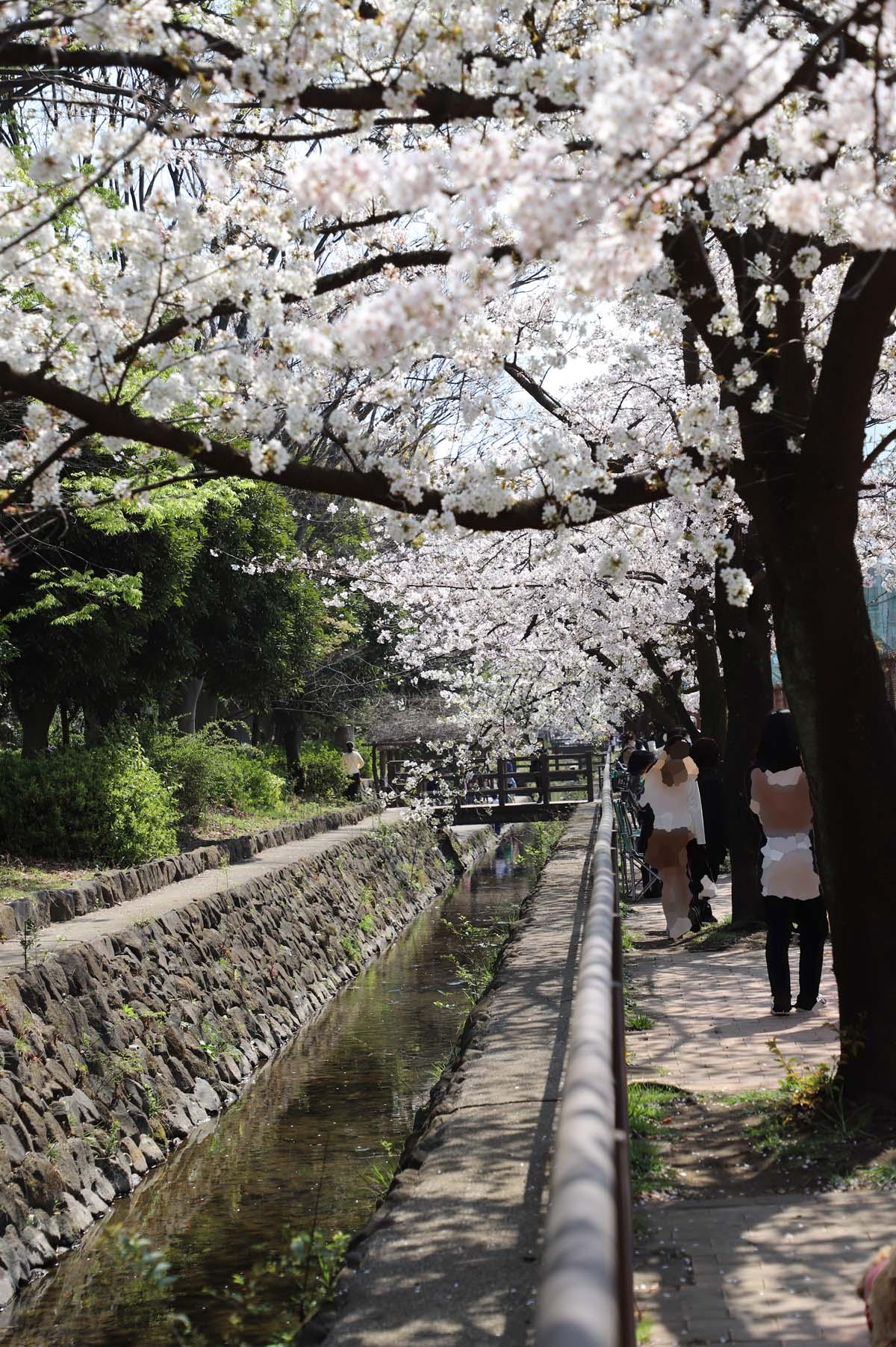 小川沿いの桜です。石垣と川の流れと桜のコントラストが見事です