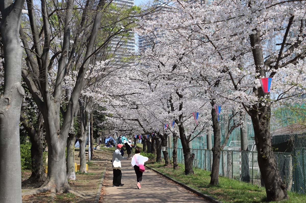 遊歩道を覆うように桜が咲いています