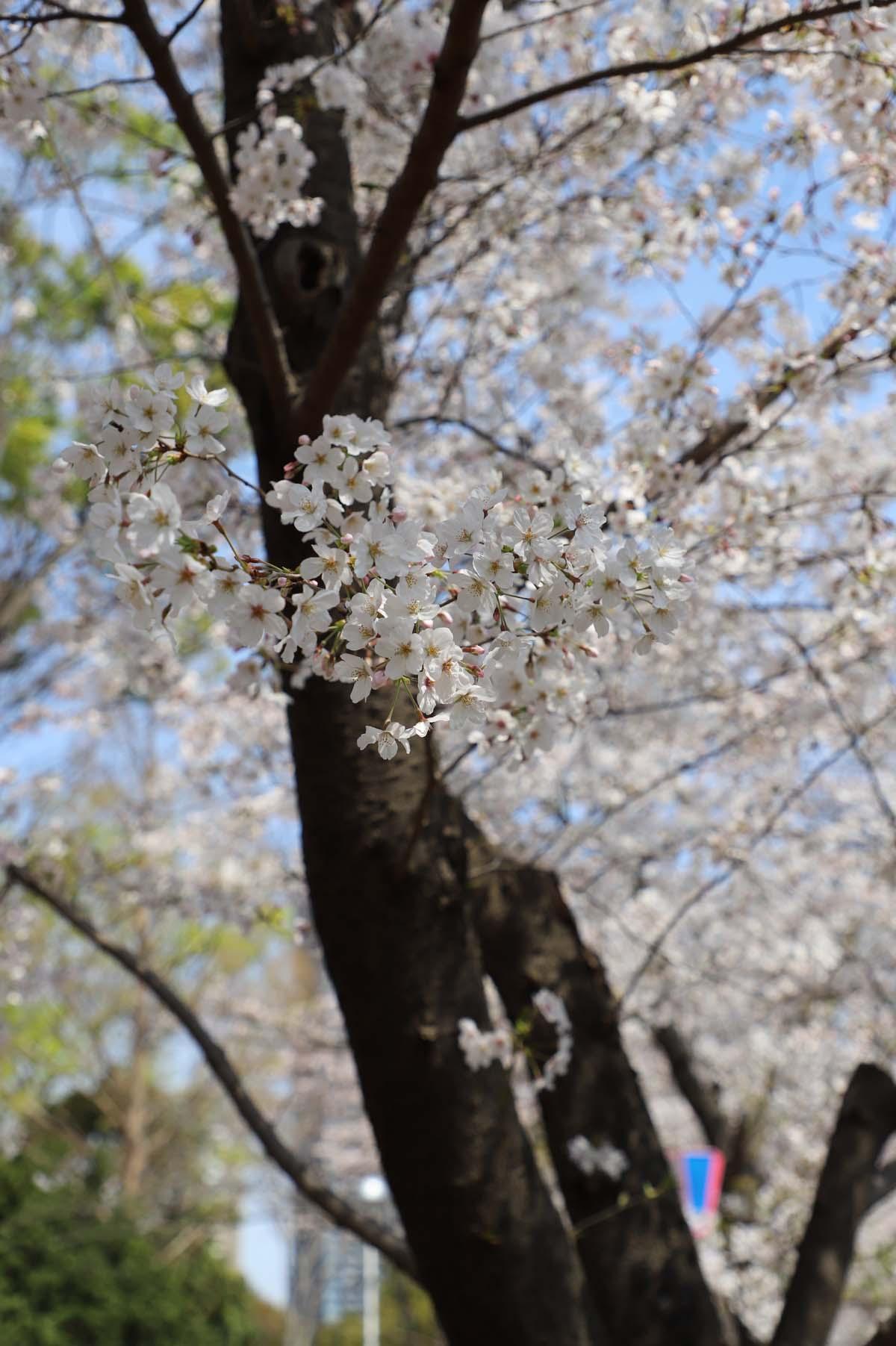 タワマンをバックにした桜