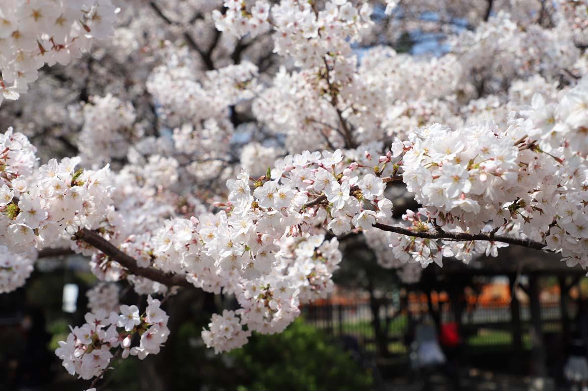 満開の桜を見ると心がいやされます