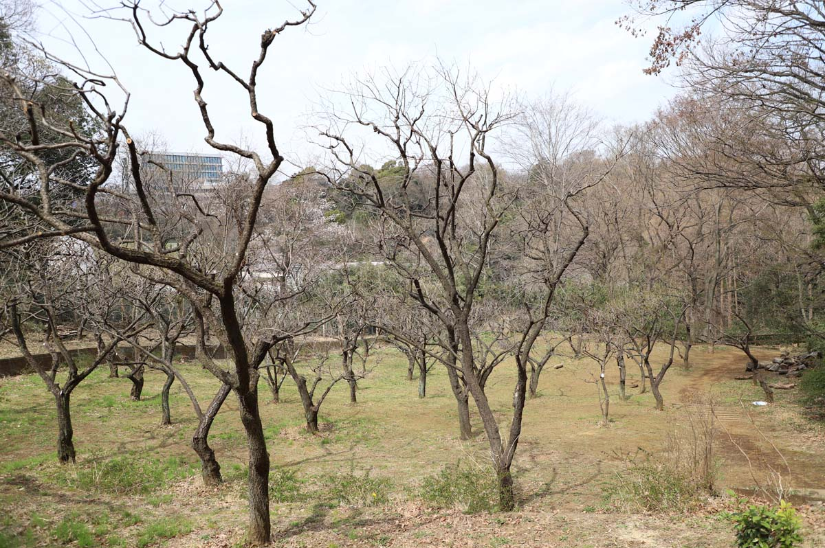 季節は違いますが、梅の木です