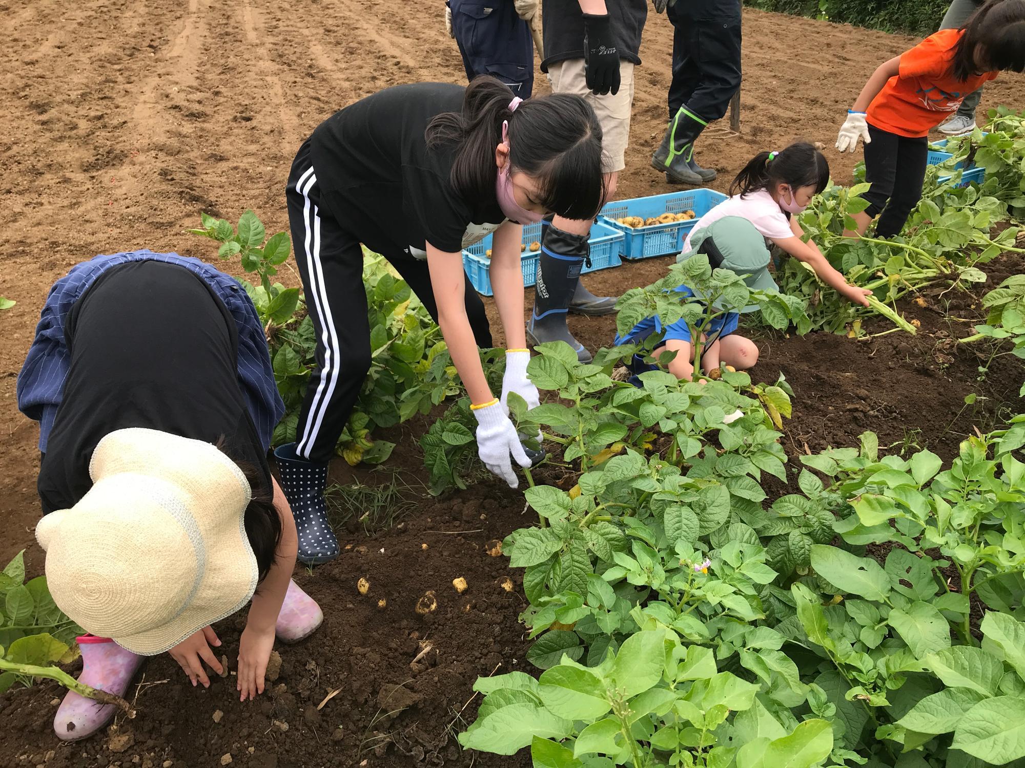 引き抜いたあとも土の中にはジャガイモがゴロゴロ。まるで宝探しのように土を掘ってジャガイモを探す子どもたち。