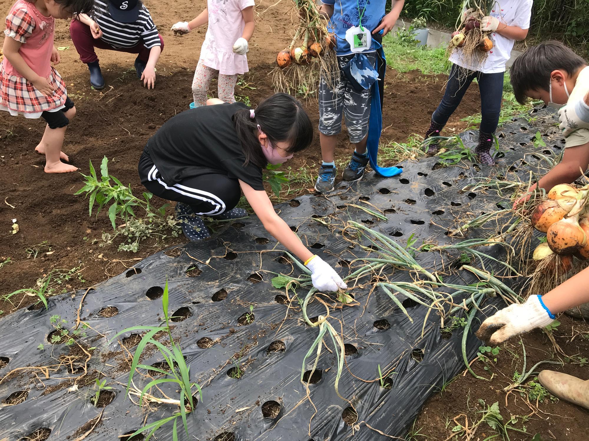 収穫後は玉ねぎの周りに張った「マルチ」という黒いビニールを取り除く作業もお手伝い。