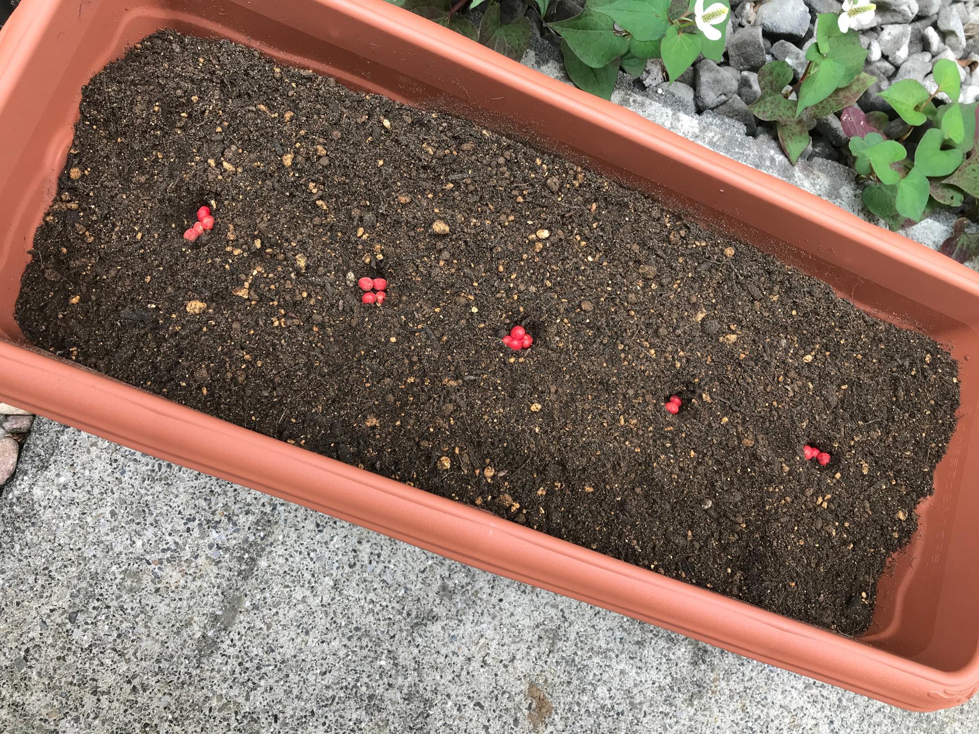 「広い畑で育ちたかっただろうに、ごめんよ」と申し訳なさを感じながらも、プランターに大豆をまきまき。