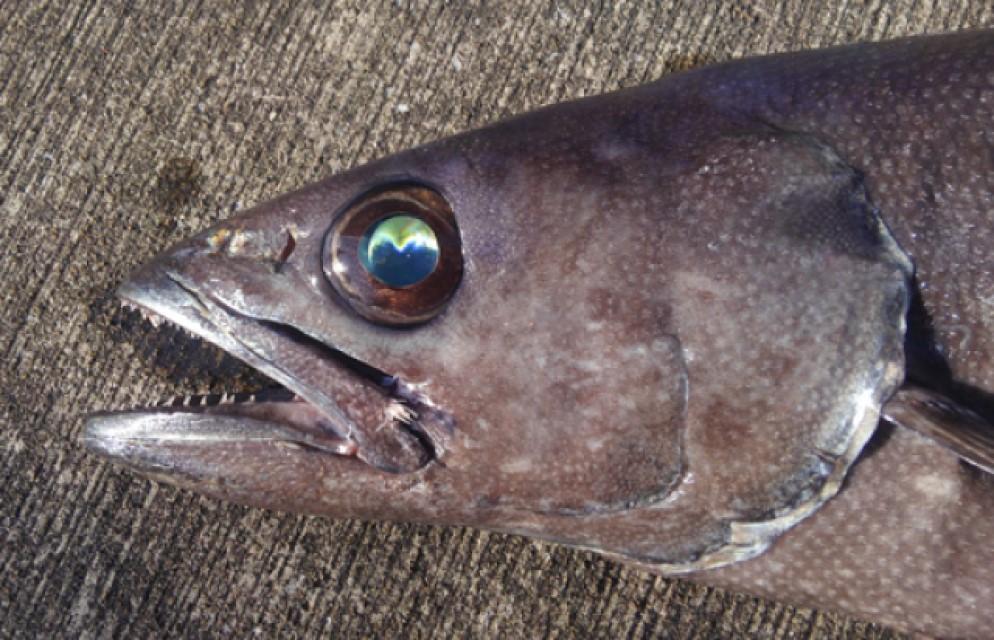 深海魚らしく目の光るバラムツ